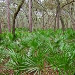 saw palmetto borstvergroting