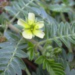 Welke tribulus terrestris is de beste?
