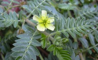 welke tribulus terrestris is de beste